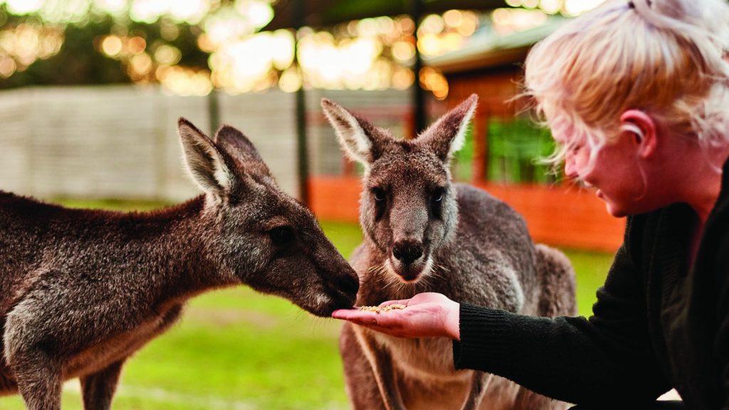 kangaroos in melbourne suburbs